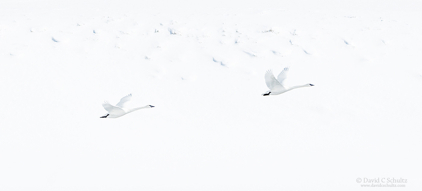 Trumpeter swans - Image#12-3593