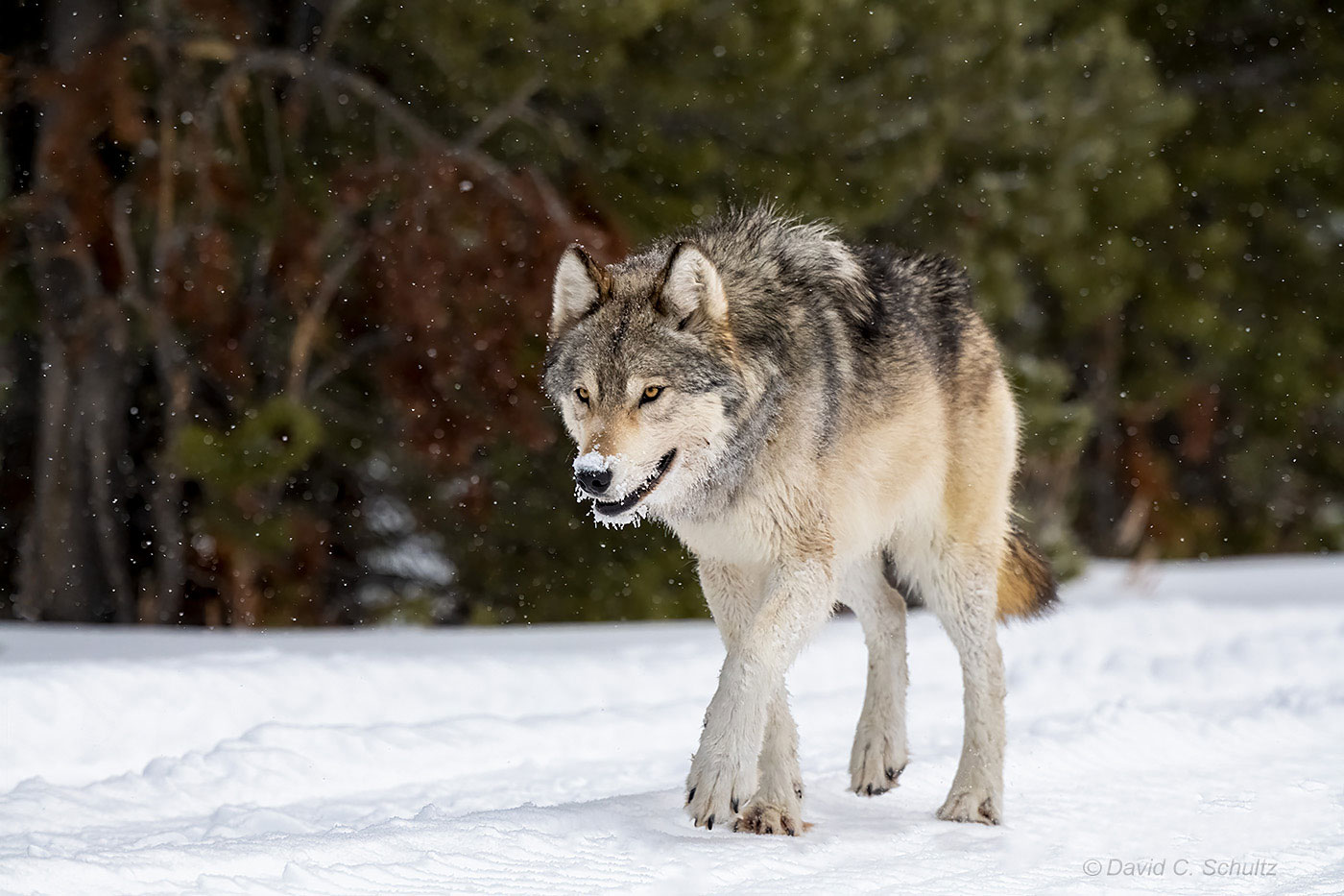 Wolf in Yellowstone National Park - Image #161-10871