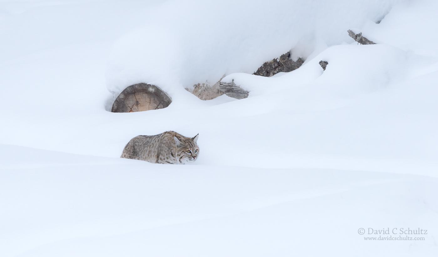 bobcat-yellowstone-winter-161-4042
