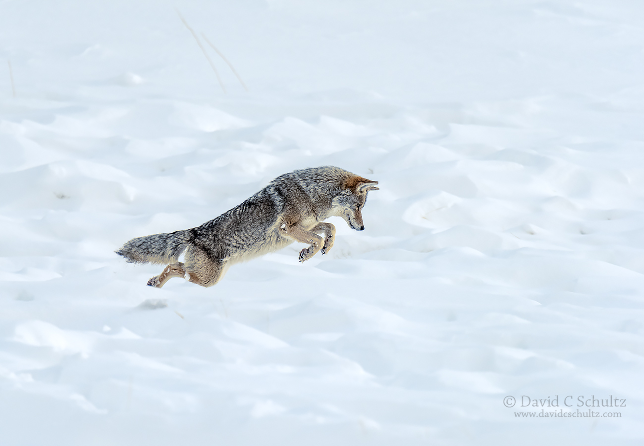 coyote-winter-yellowstone-161-3487