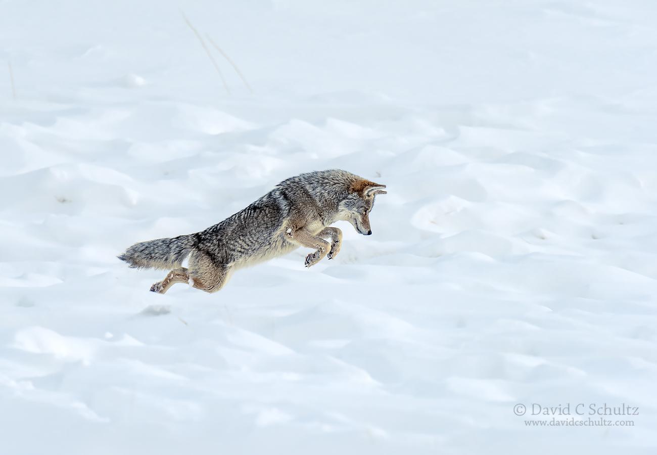 coyote-winter-yellowstone-161-3487