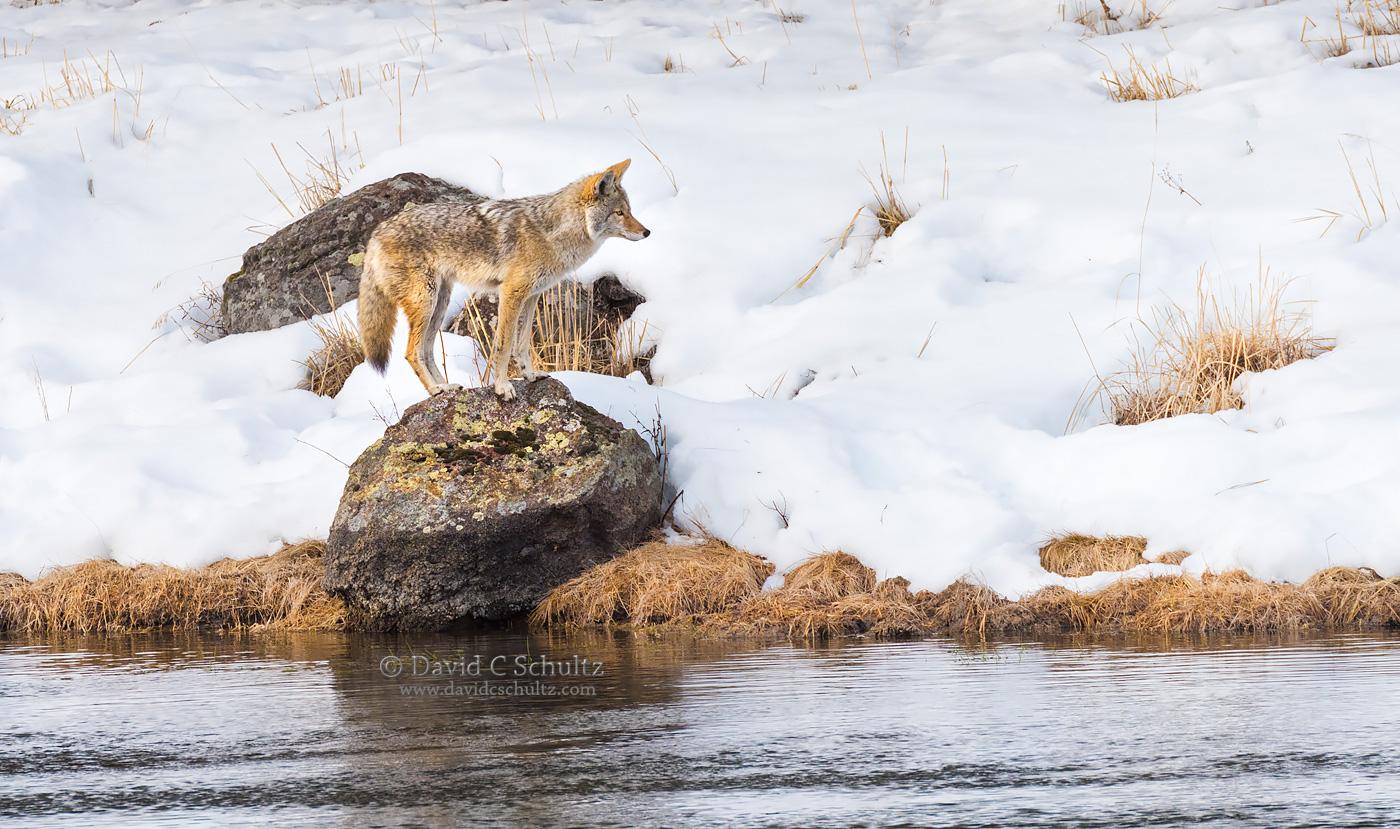 coyote-winter-yellowstone-161-4652