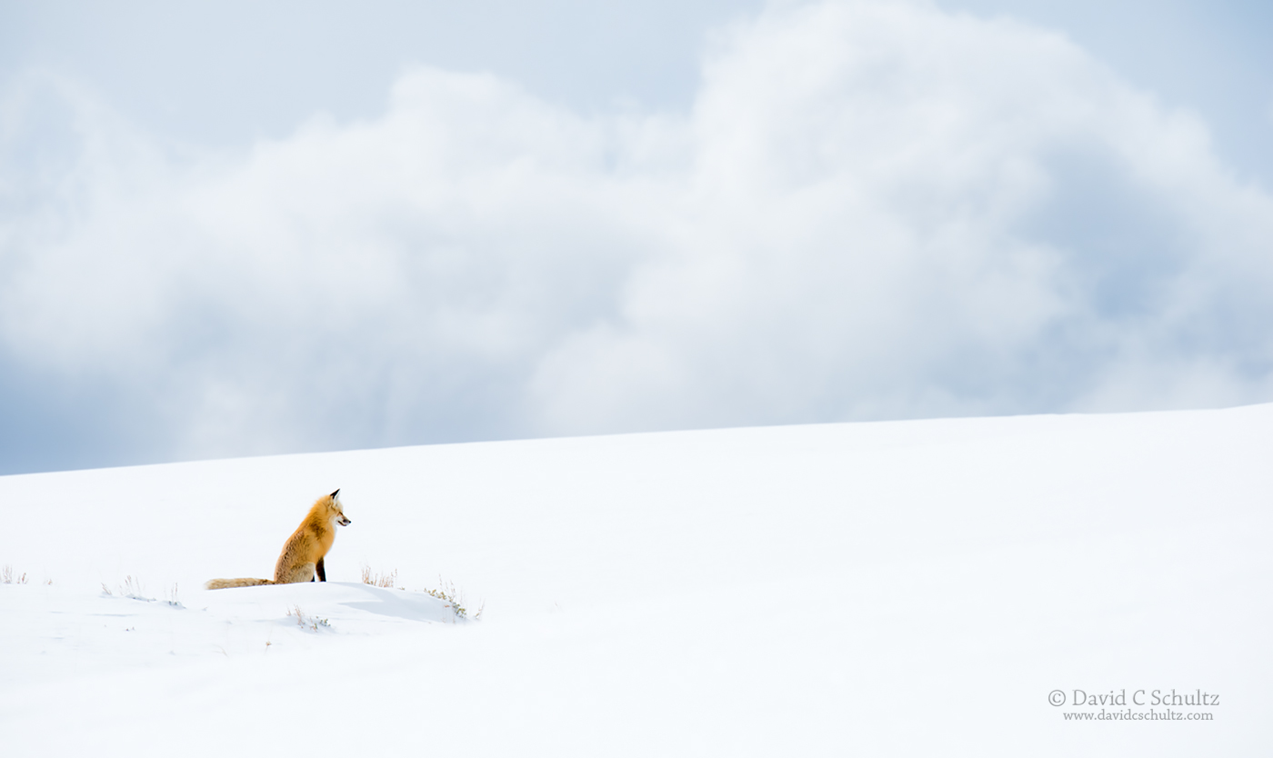 fox-winter-yellowston-161-5131