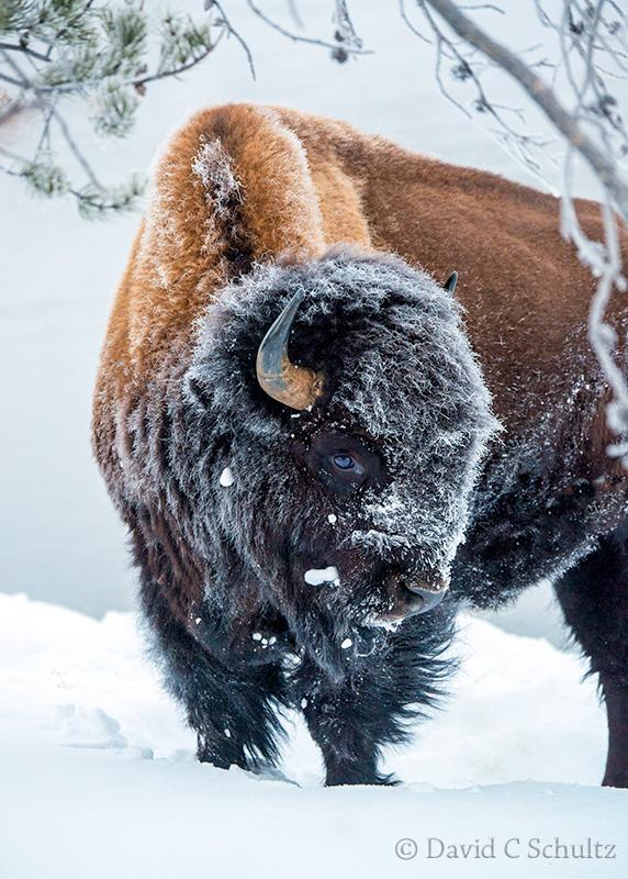 winter-yellowstone-bison-161-2048