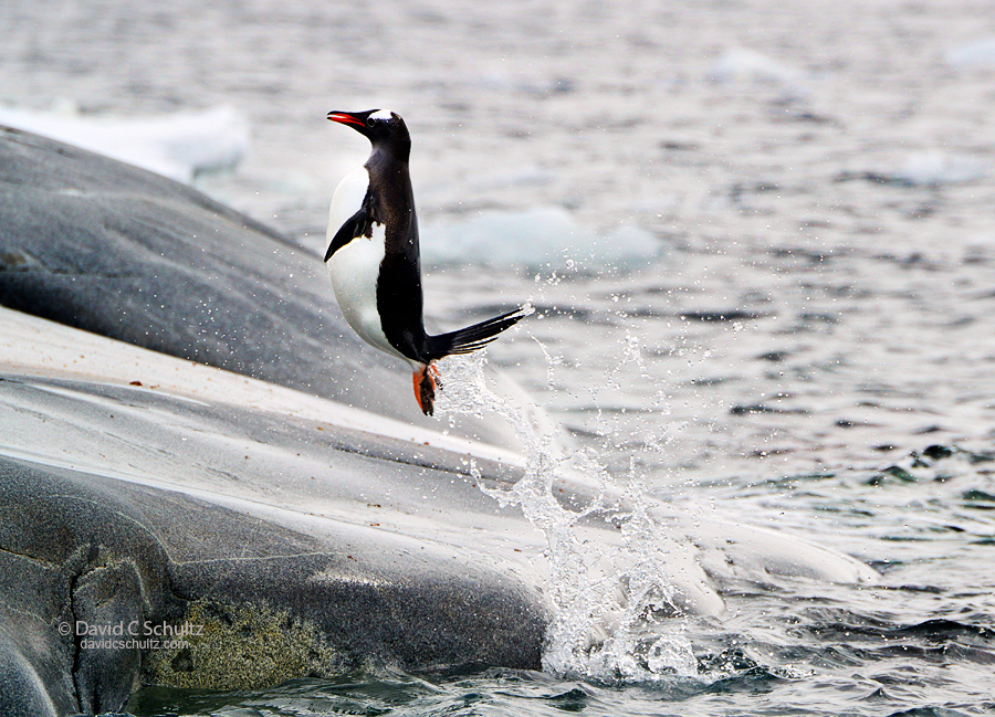Gentoo penguin flying out of the water in Antarctica.