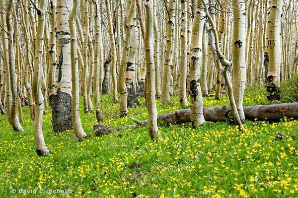 Aspen trees and wildflowers seen during a Park City , Utah photography workshop.