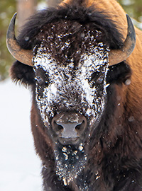 Photograph of a bison during a winter in Yellowstone photography tour.