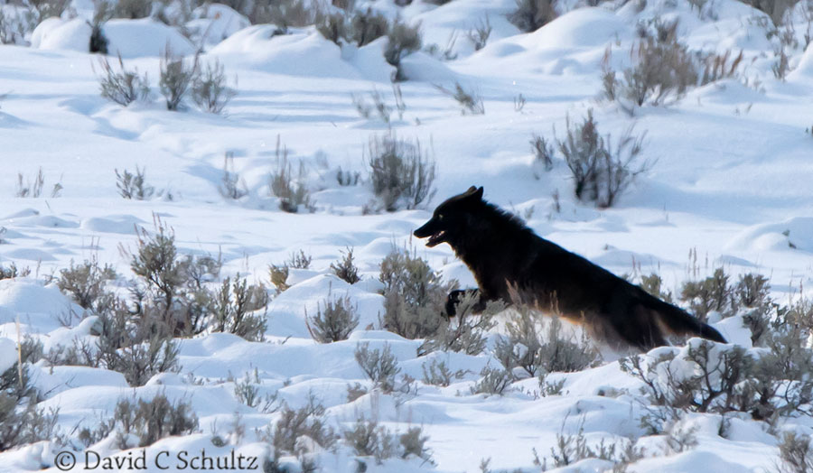wolf in the lamar valley yellowstone national park