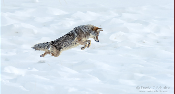 Coyote winter in Yellowstone National Park photography tour