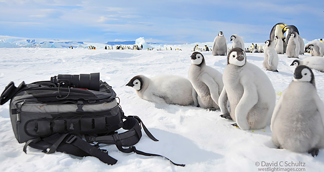 Emperor penguin chicks with my camera bag in Antarctica.