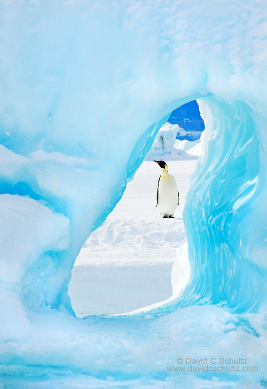Emperor penguins framed by a hole in an iceberg in Antarctica.