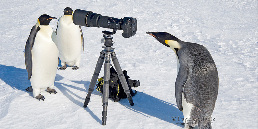 Emperor penguins with camera, penguin paparazzi