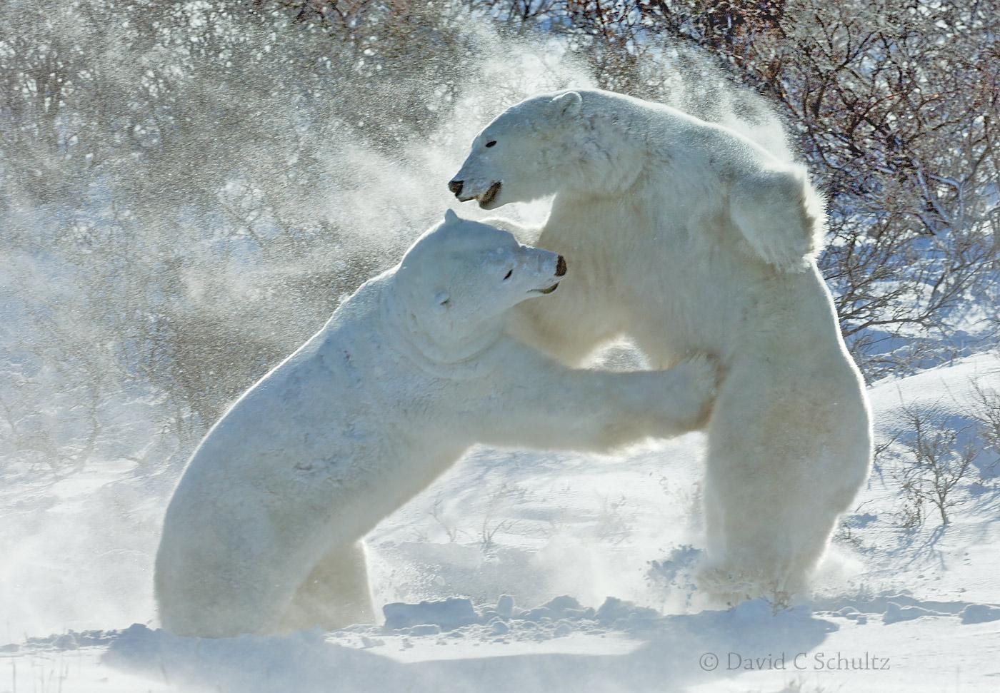 Polar bears sparing in the Wapusk National park, Canada