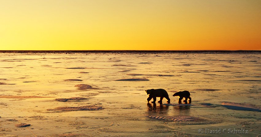 Polar bear cub with mother on the frozen Hudson Bay at sunrise