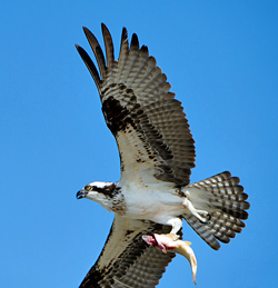 Osprey flying with a fish in the Grand Teton National Park, WY