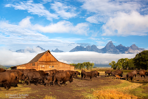 Bison at the Mormon Barn photographed during the Grand Teton Photography Tour