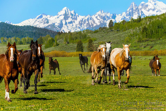 horses and the grand tetons