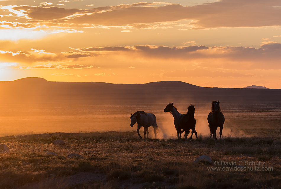 Onaqui herd of wild horses in the west desert of Utah.