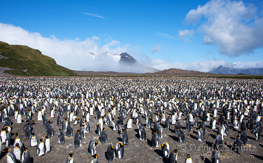 King penguins at Salisbury Plain on South Georgia Island