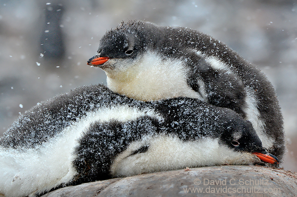 Gentoo penguin chicks during a snow storm in Antarctica