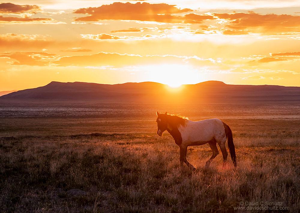 Onaqui herd of wild horses in the west desert of Utah.