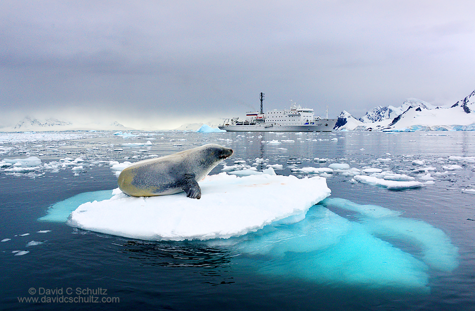 Crabeater seal and the Akademik Ioffe in Antarctica
