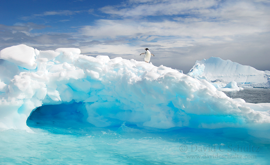 An adelie penguin on an iceberg in Antarctica