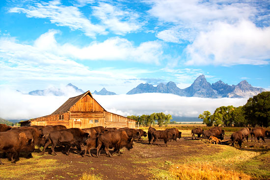 Bison at the Mormon Barn in Teton National Park, WY during our autumn grand-teton photo tour