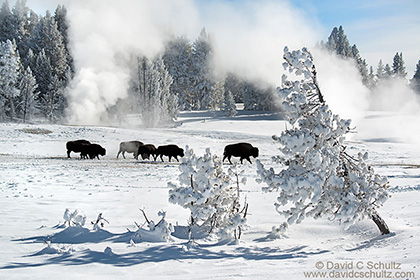 Bison in Yellowstone winter photo tour