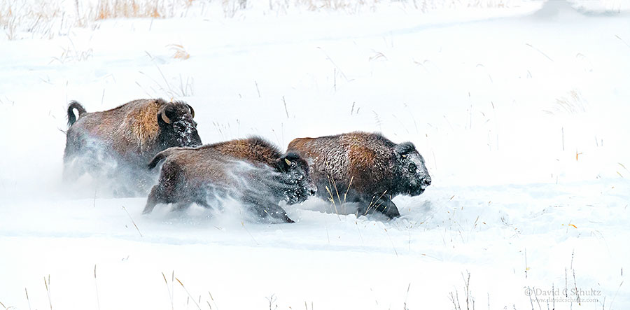 Bison running through the deep snow during the winter in Yellowstone National Park.