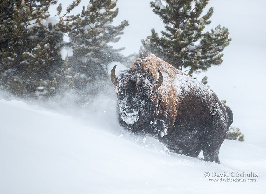 A bull bison in deep wind drifting snow in Yellowstone National Park, during the winter.