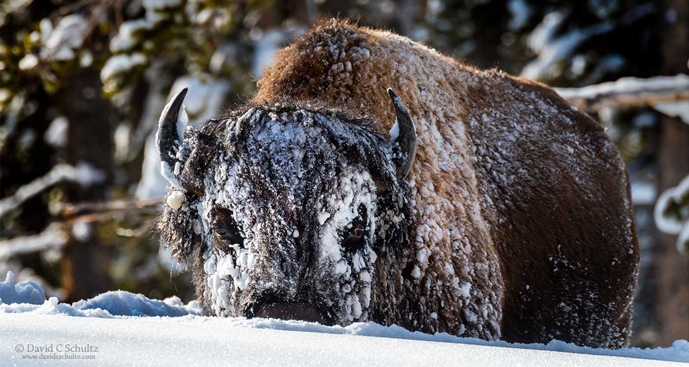 Close-up photograph of a bison with a face full of snow.