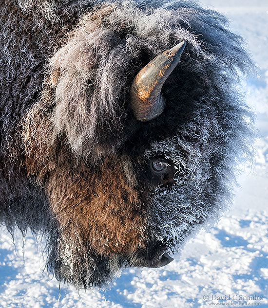 Close-up of bison coated in frost during the winter in Yellowstone National Park.