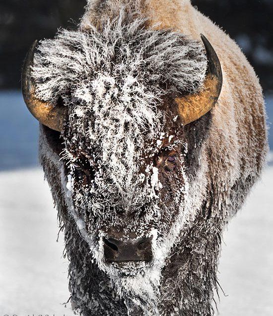One Date Open-Winter in Yellowstone