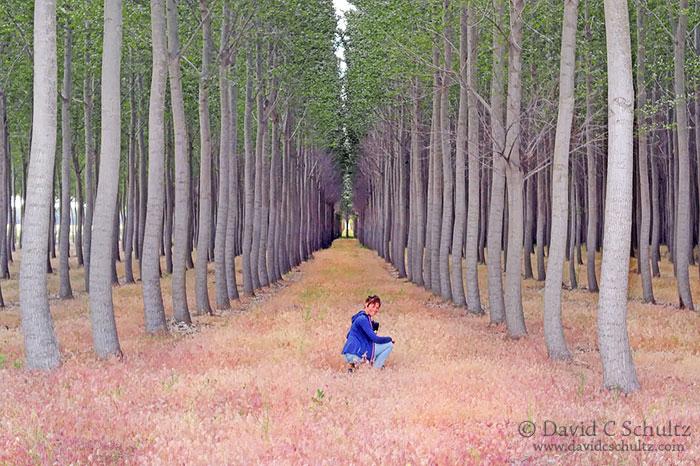 Boardman Oregon poplar tree farm in the fall