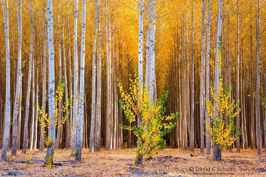 Boardman Oregon poplar tree farm in the fall