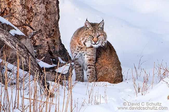 Bobcat in the winter Yellowstone National Park