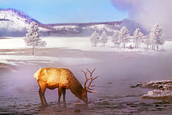 Winter Yellowstone photo tour bull elk