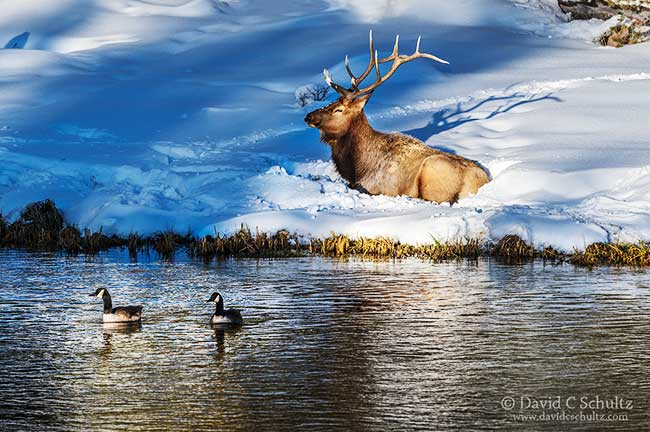 Bull elk during the winter in Yellowstone National Park.