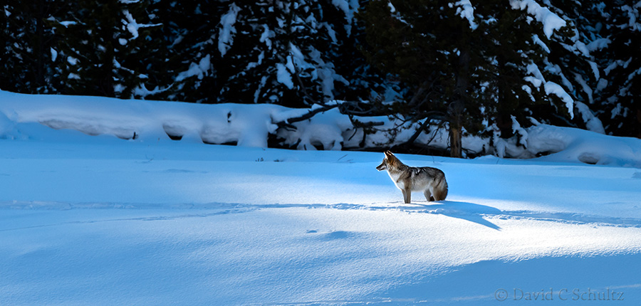 coyote photographed during our winter in yellowstone photo tours
