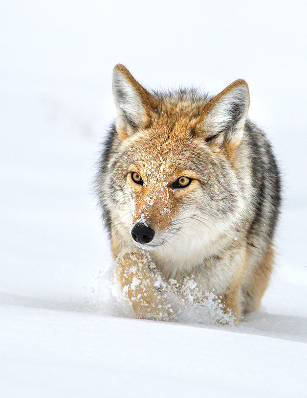 Coyote photographed during one of my Winter in Yellowstone Photo Tours.