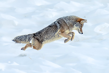 Coyote hunting in the snow in Yellowstone National Park in the winter.