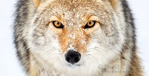 Winter wildlife and landscape photography tour in Yellowstone National Park by David C. Schultz