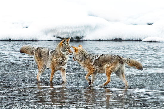 Coyotes greeting each other in the Madison River, Yellowstone National Park, WY