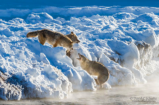 Coyotes fighting along the Madison River photographed during one of my Winter in Yellowstone Photography Tours.