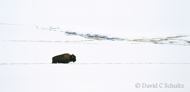 Private Yellowstone Snow Coach Photo Tour to photograph bison and other wildlife in the Park