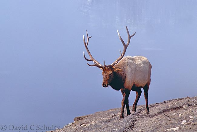 Bull elk in Yellowstone winter photography workshop