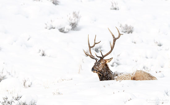 Bull elk during the winter near Mammoth Hot Spring, Yellowstone.
