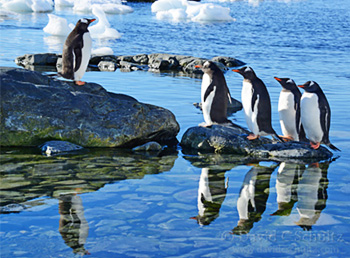Gentoo penguins in Antarctica by David C Schultz