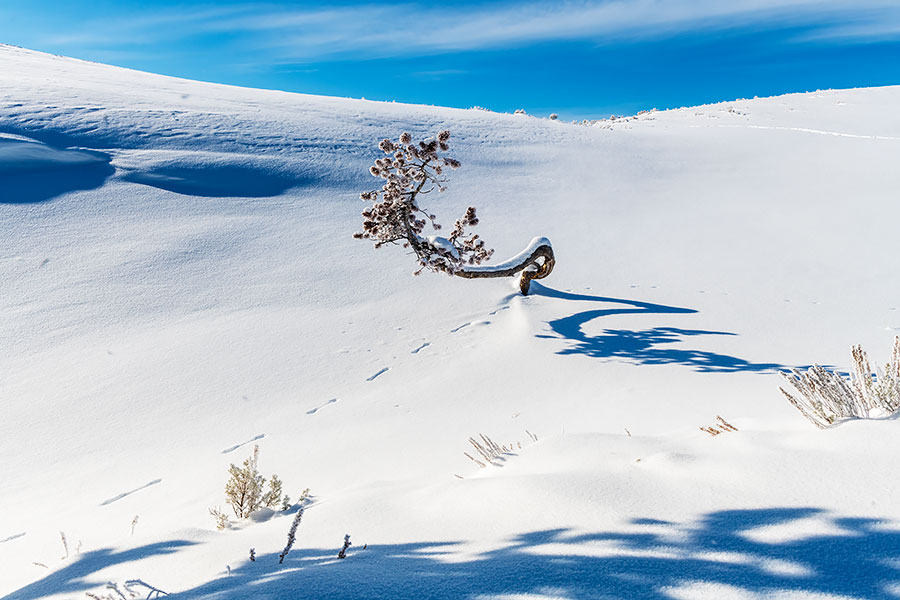 Twisted tree and ermin tracks  in Hayden Valley during the winter in Yellowstone National Park, WY.